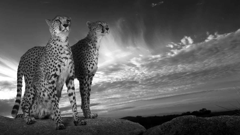 Cheetahs by Carlos Santero