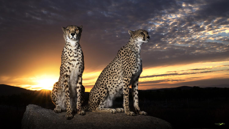 Royal Cheetahs by Carlos Santero