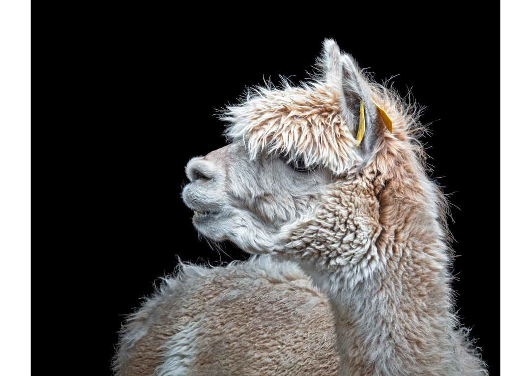 Alpaca 1 by Ben O'Connell