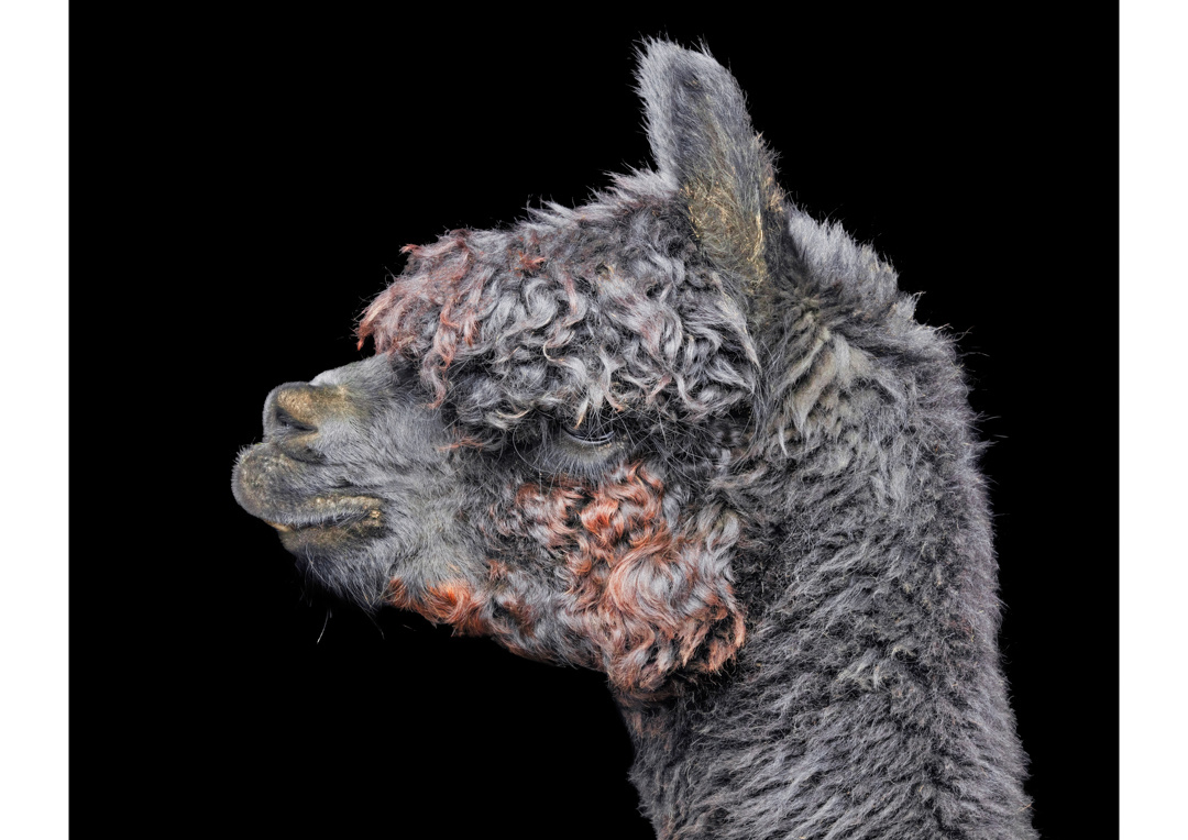 Alpaca 2 by Ben O'Connell
