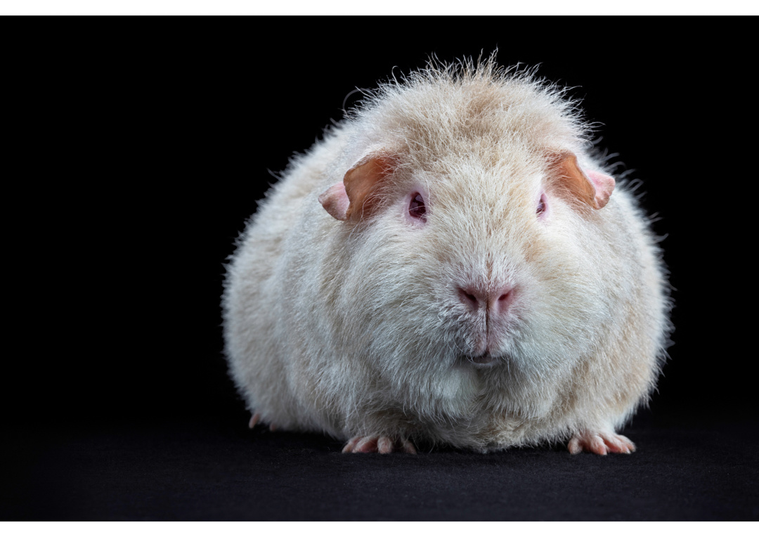 Guinea Pig by Ben O'Connell