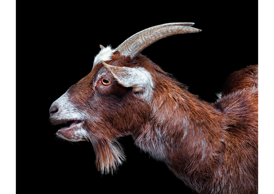 Goat by Ben O'Connell