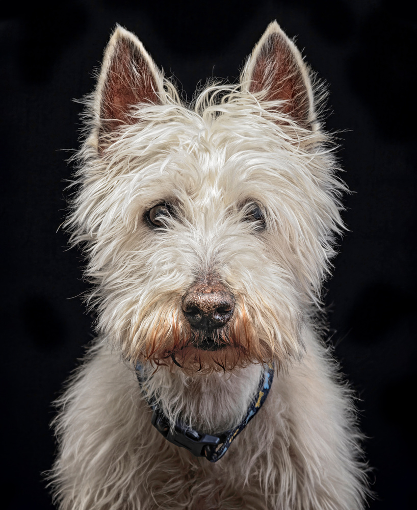 West Highland White Terrier by Ben O'Connell