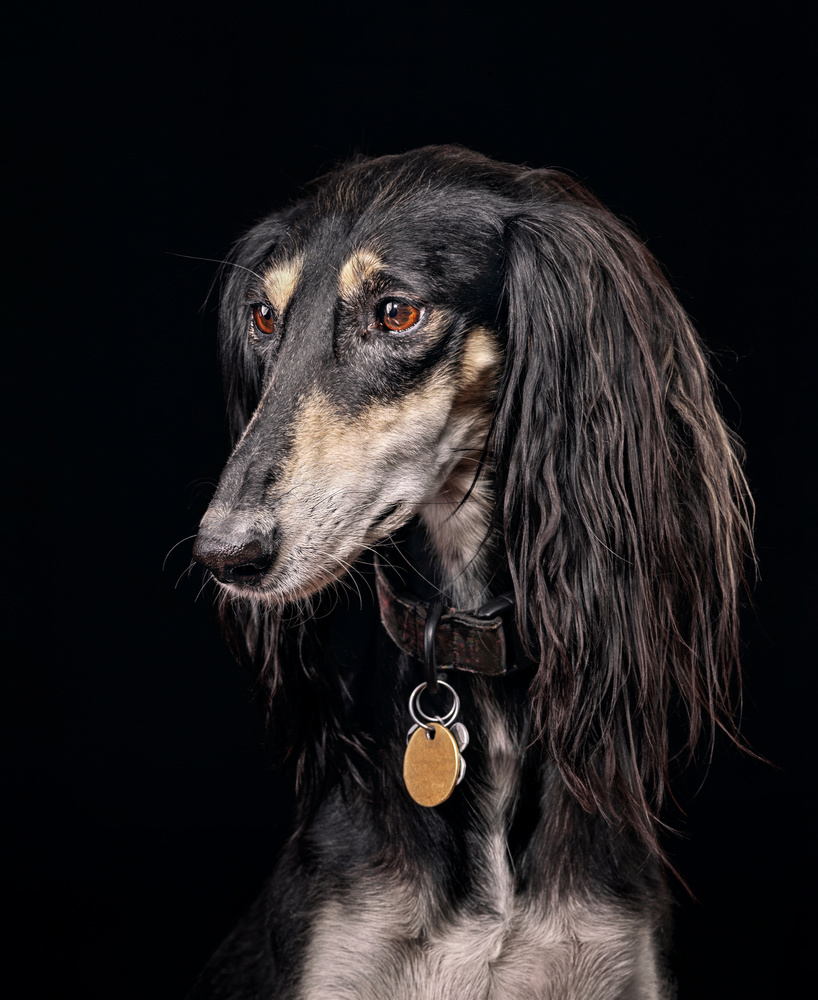 Saluki by Ben O'Connell