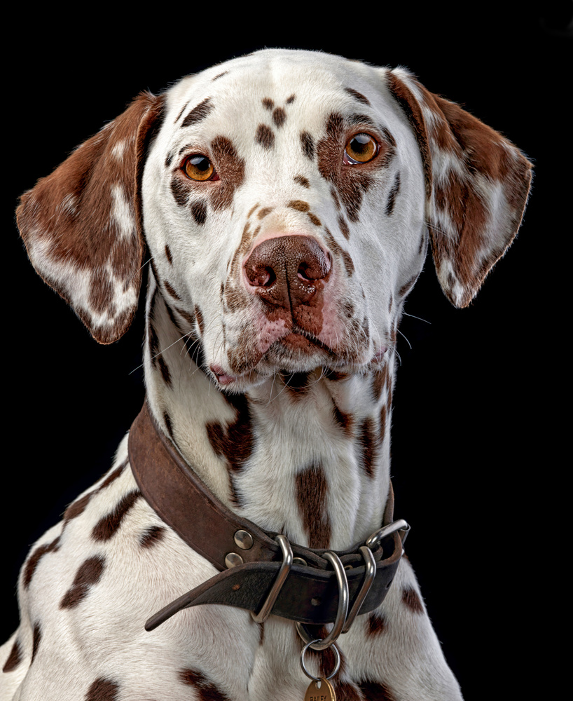 Dalmatian by Ben O'Connell
