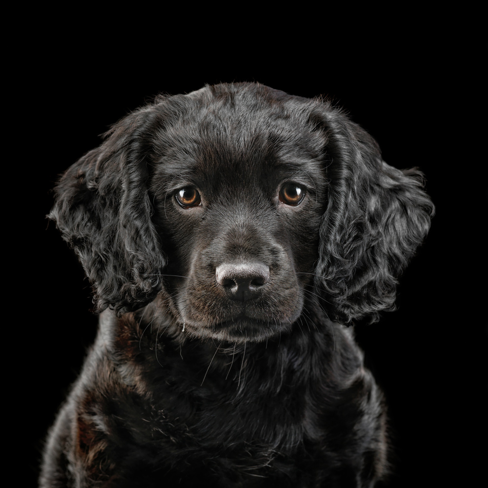 Black Spaniel Puppy by Ben O'Connell