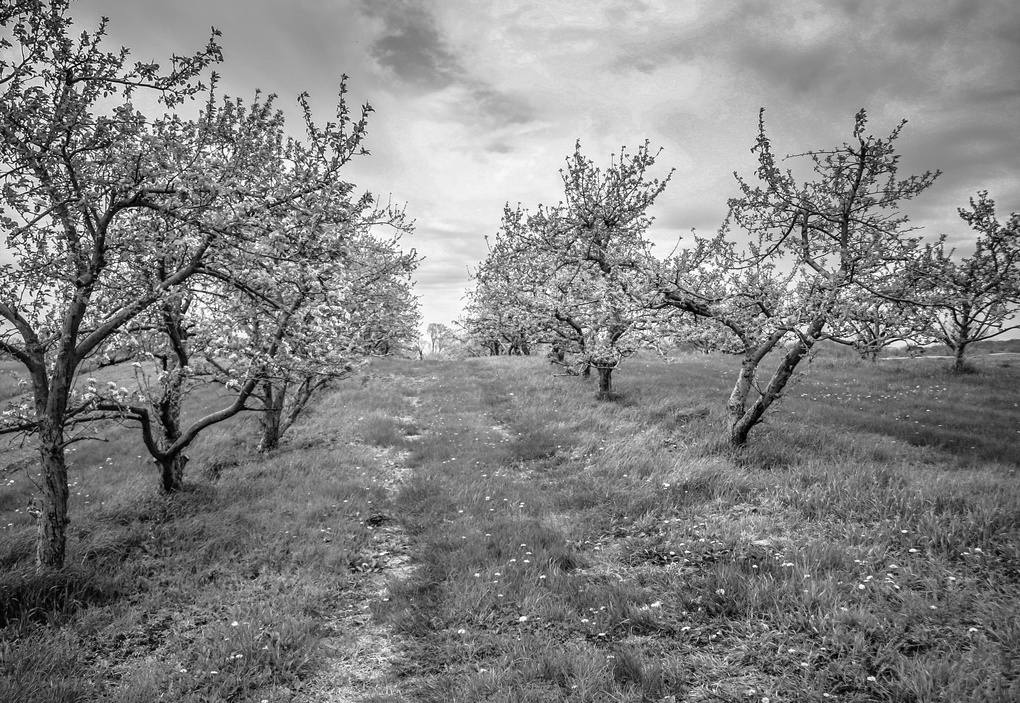 Apple Orchard by Bethany Crawford