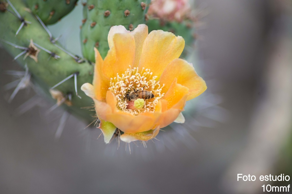 Cactus flower with bee by Mauricio Martinez