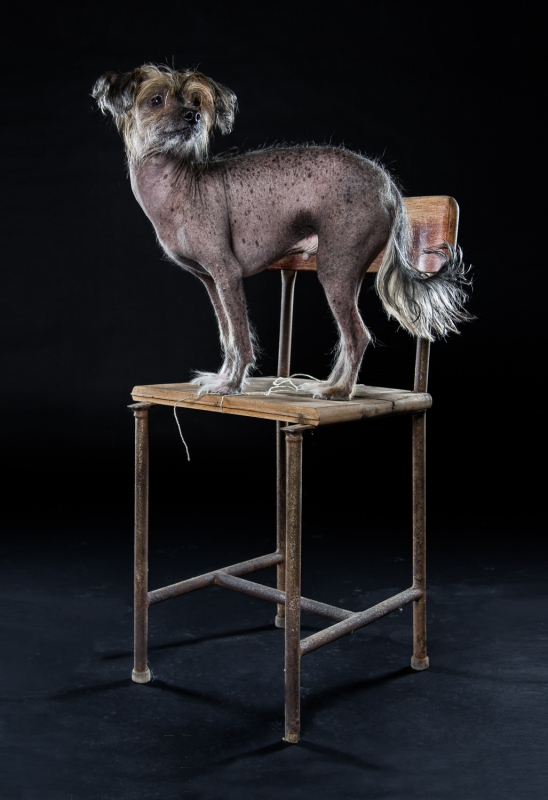 Chinese Crested Dog Neo by Klaus Dyba