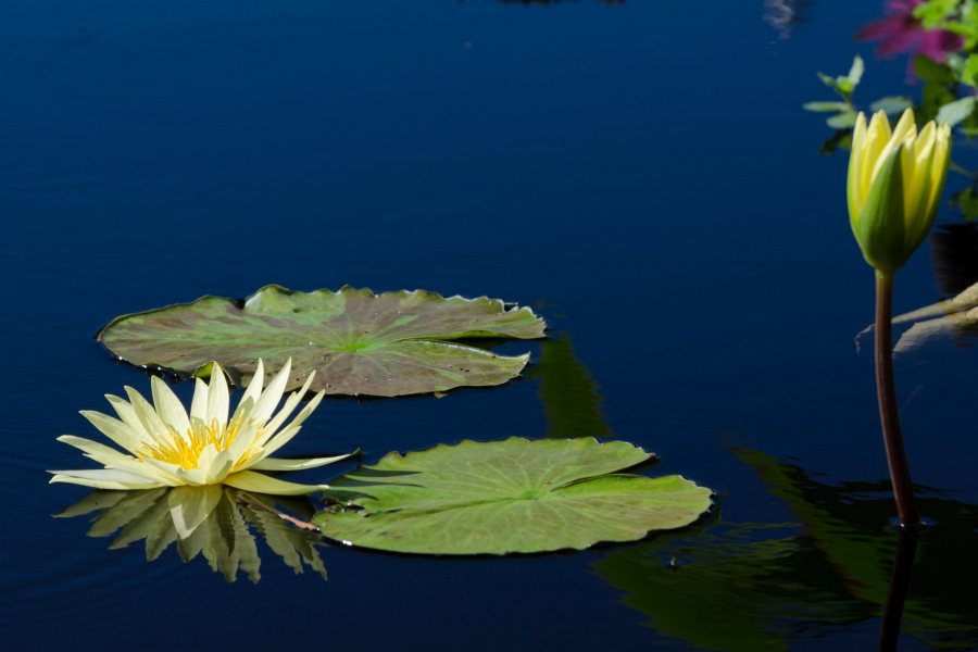 Yellow water lilies by Walt Polley