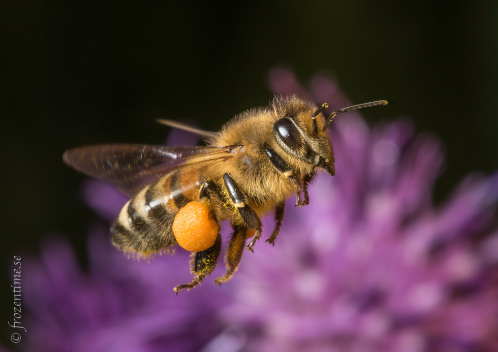 Honey bee in flight with full pollen sacks. by Mark Harris