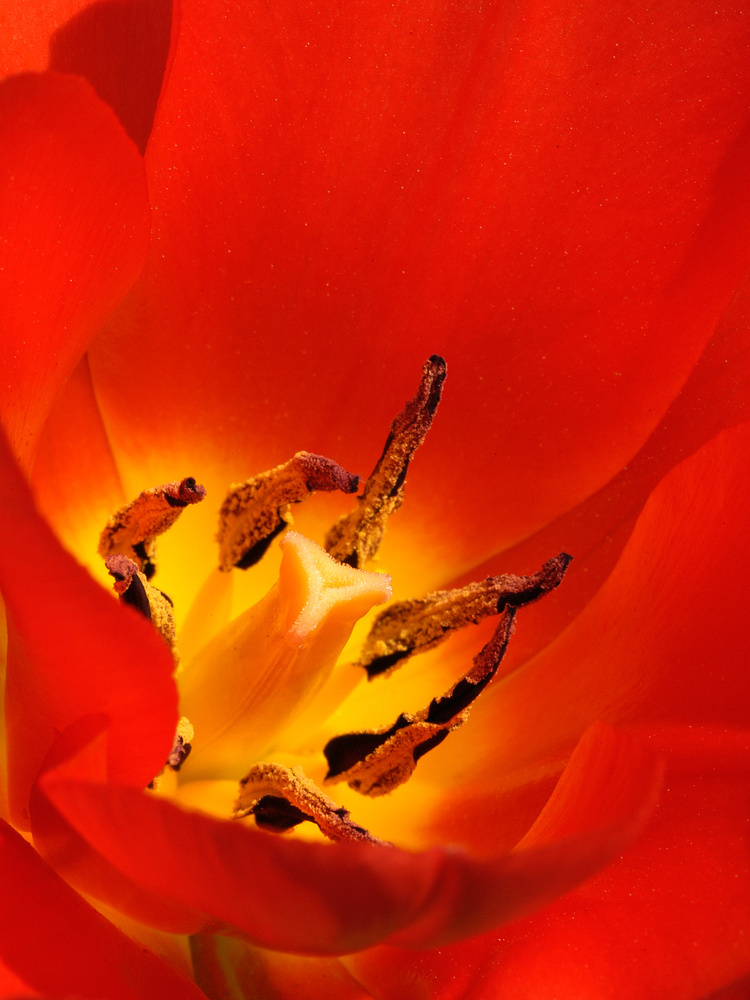Tulip 0185 by Jeff Burian
