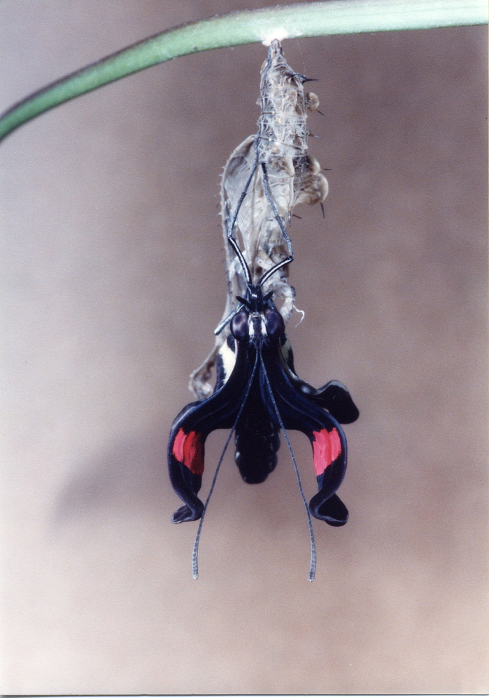 Heliconius emerging from Chrysalis by Jeff Burian
