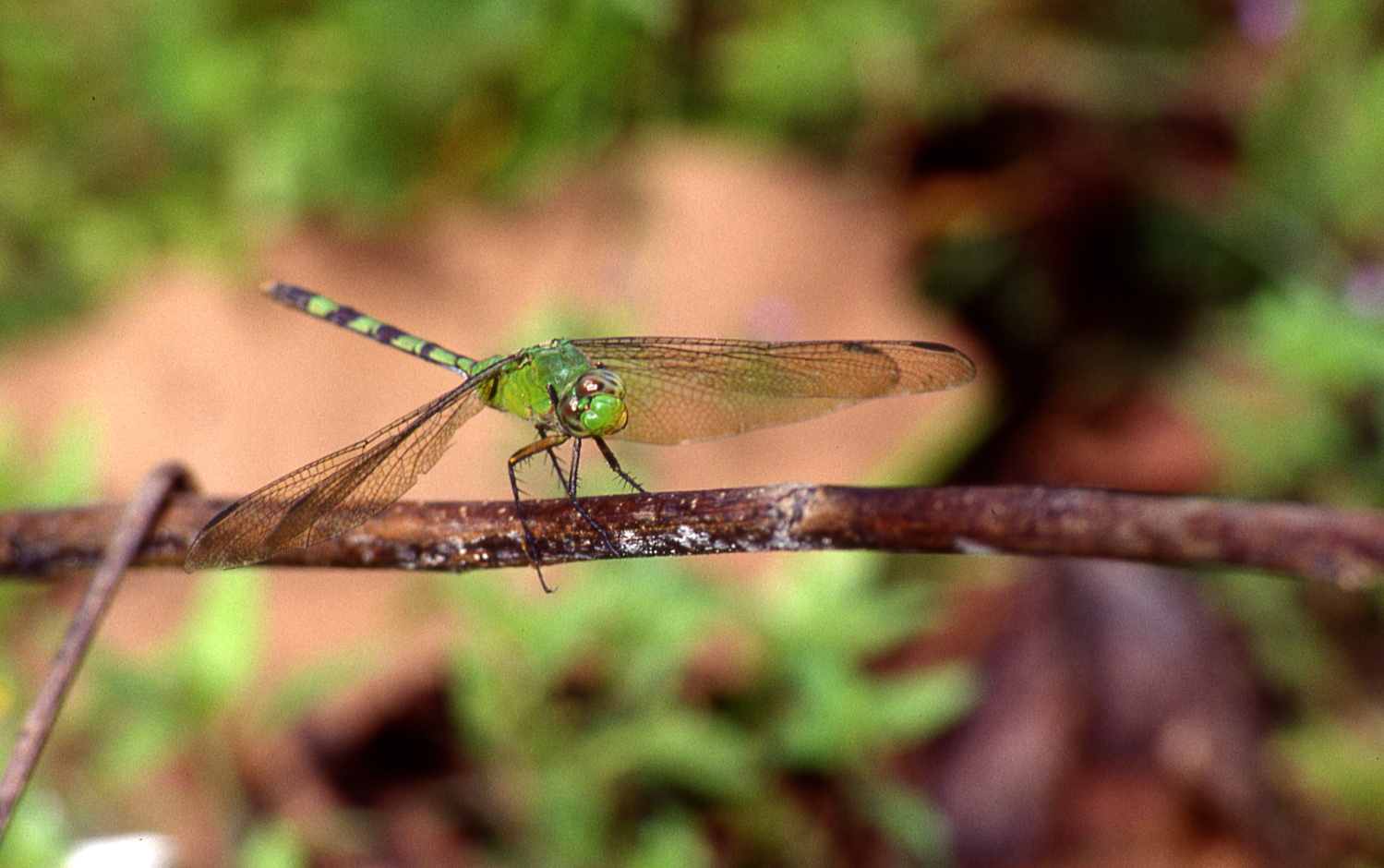 Dragonfly on Branch by Jeff Burian