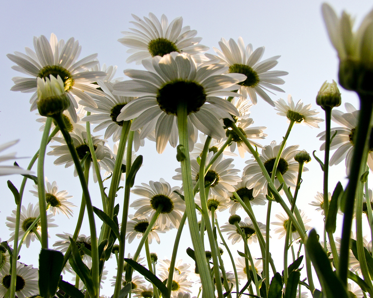 Daisies for Pam by Jeff Burian