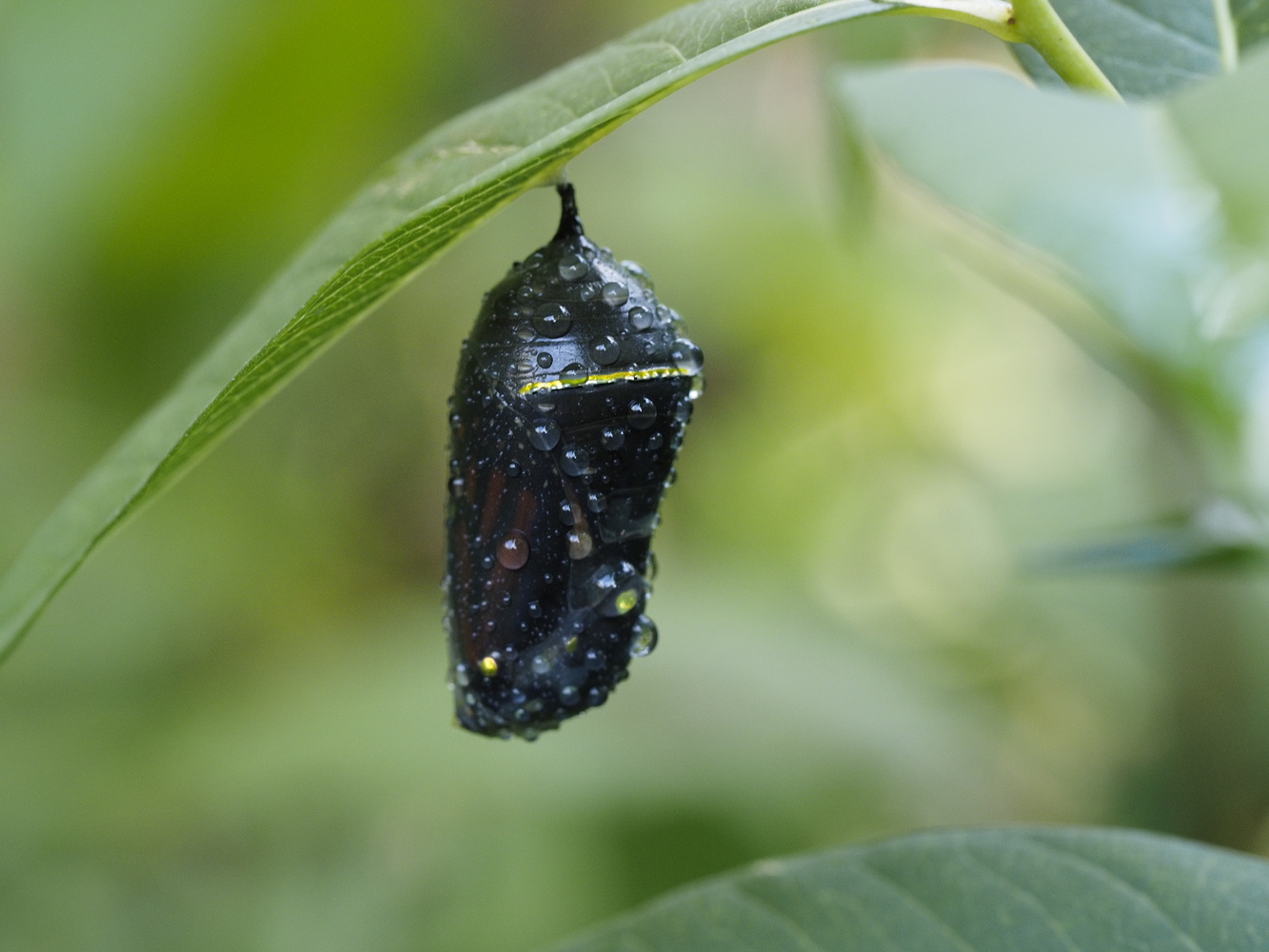 Monarch Butterfly Chrysalis by Jeff Burian