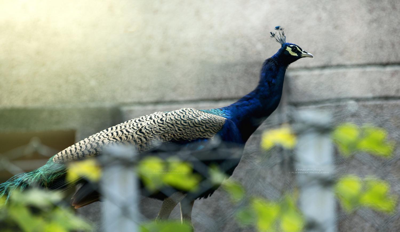 peacock  by pushpendra maurya