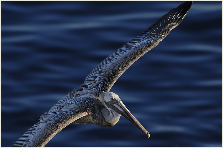 California Brown Pelican by James Phenicie