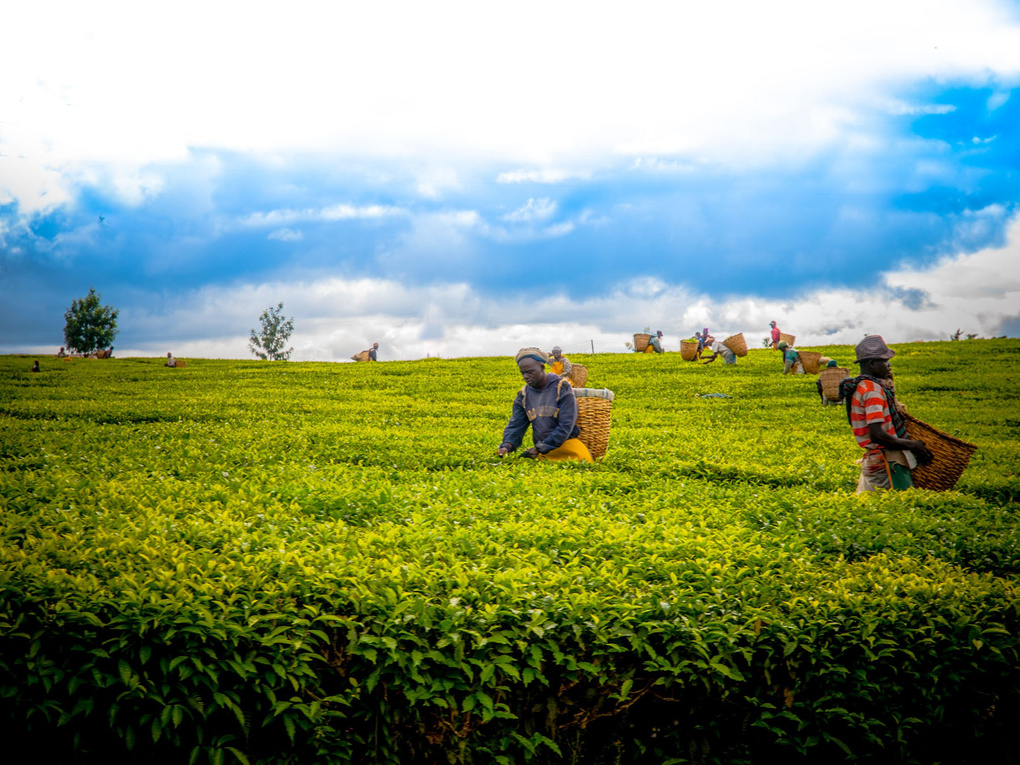 Tea Workers by Jim DeLillo