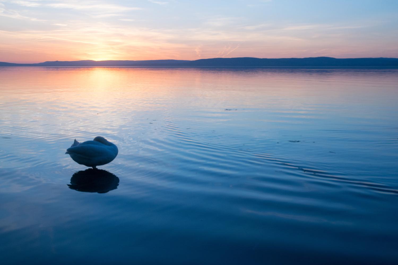 Swan by Adam Szegvari