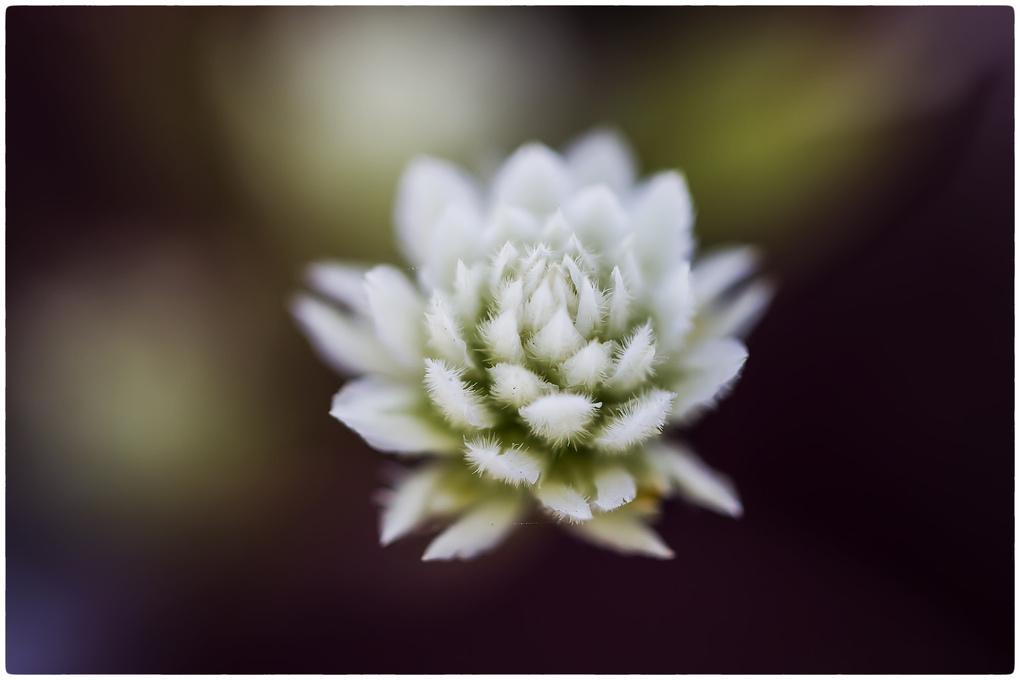 Flower bud by saurabh khape