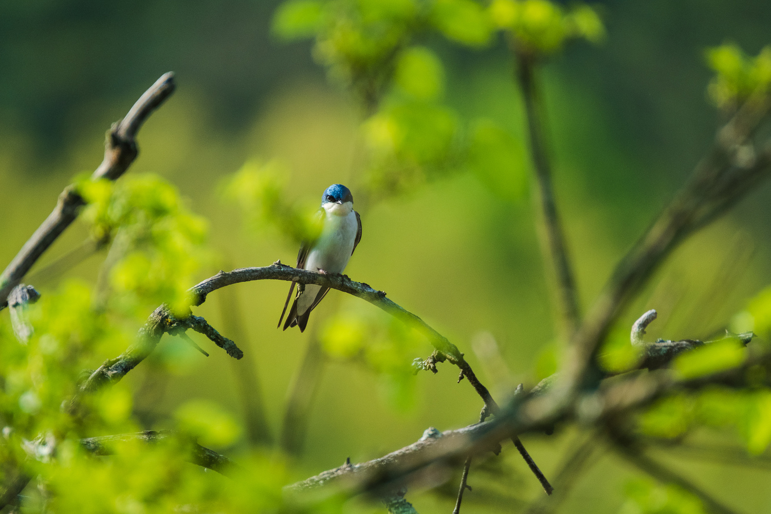 tree swallow by Brian Kaldorf