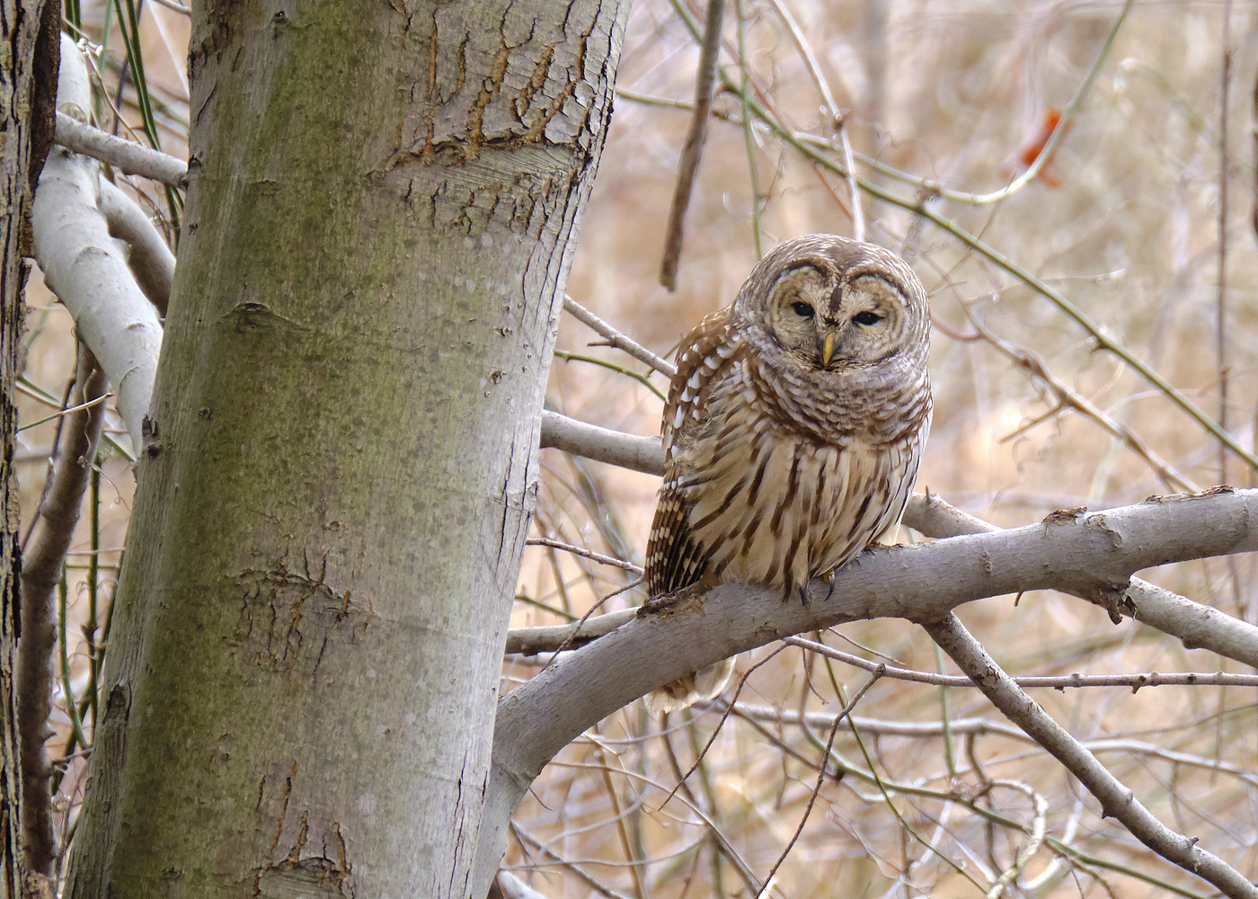 barred owl by Brian Kaldorf