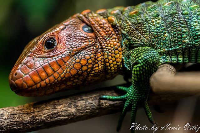 Posing Lizard by Arnie Ortiz