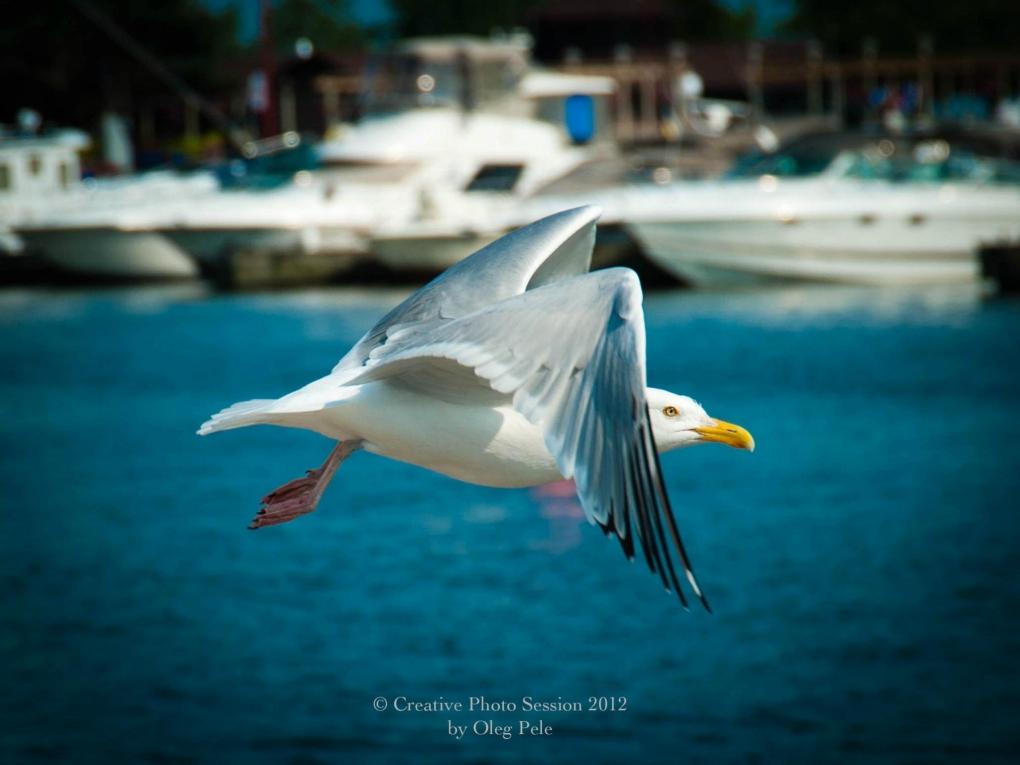 Seagull by Oleg Pele