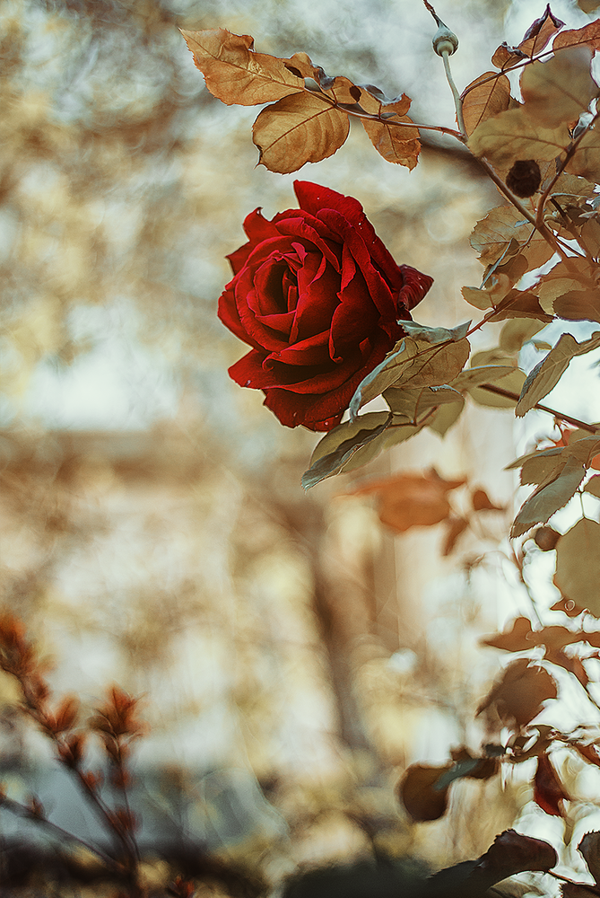 Rosa Damascena ` by shareef saadi