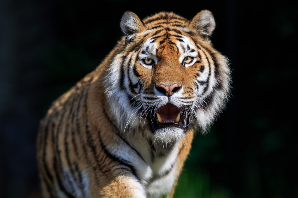 Siberian Tiger by Jakob Lehner