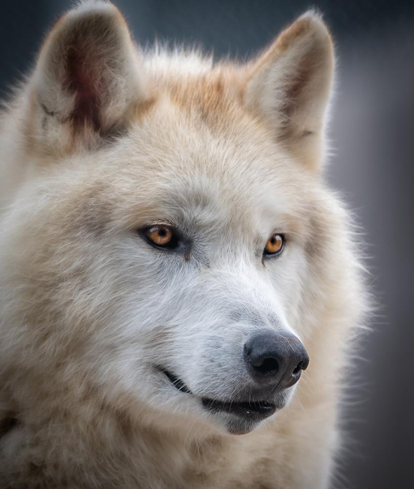 Gray Wolf by David Pine