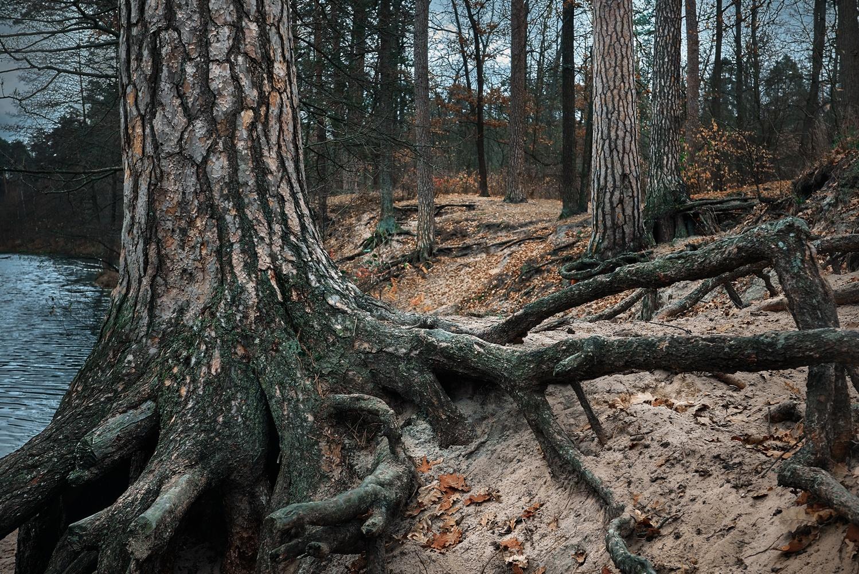 pines on riverbank by Peter Salyuk