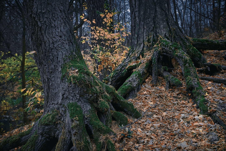 oak roots in autumn foliage by Peter Salyuk
