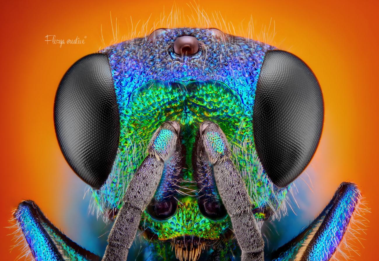 Holopyga generosa metallic wasp by Tomas Rak