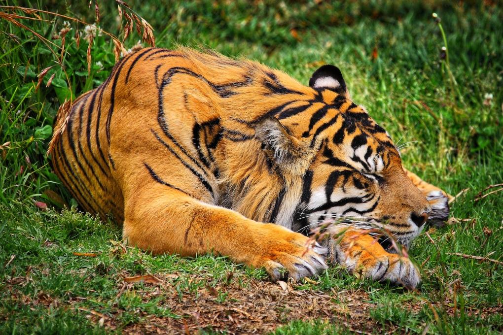 Tiger by Rolando Ramos