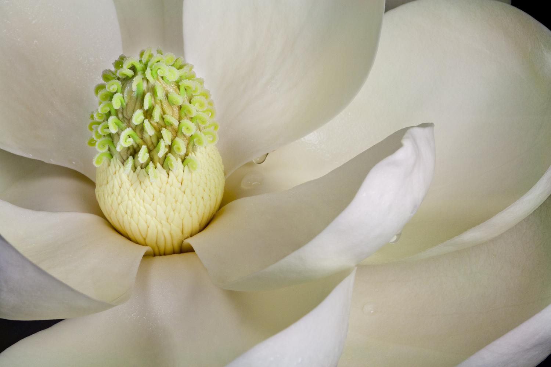 Fresh Magnolia by Janice Sullivan