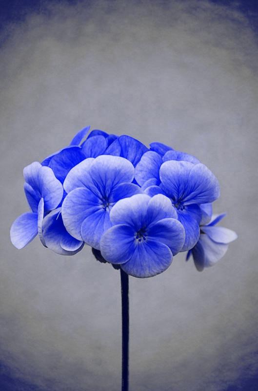 Blue flower by Aura Todd