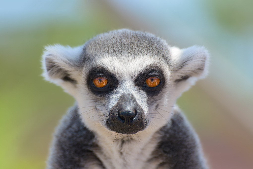 Interview with a Lemur by Bill Peppas