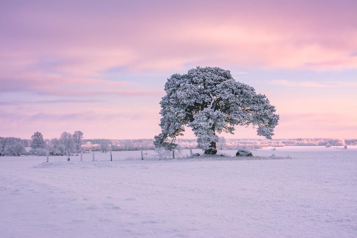 Laekvere Pine by Imre Aunapuu