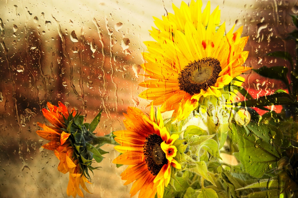 Wet Sunflower by mike Hope by Michael Hope