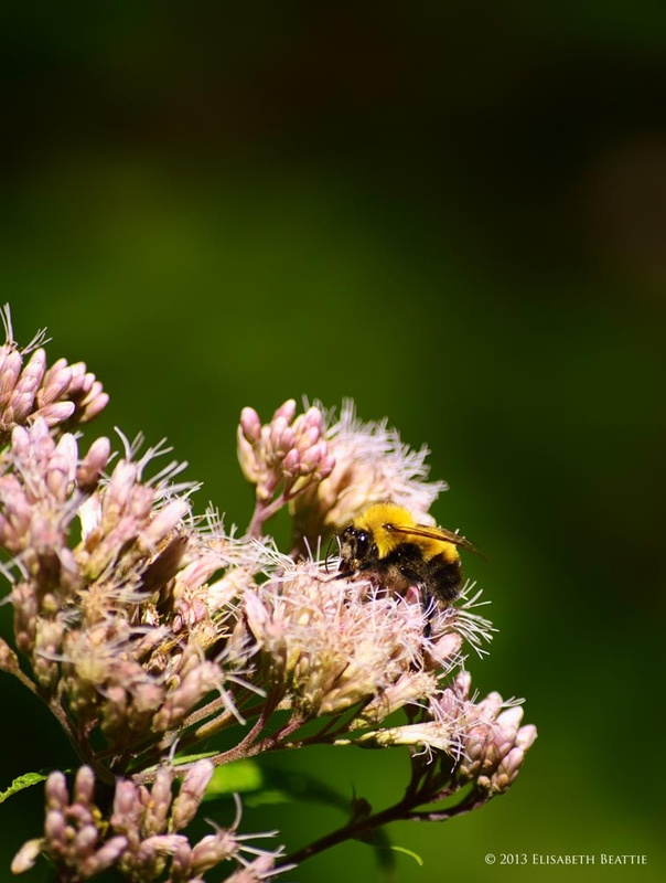 Bee on Ironweed by Lis Beattie