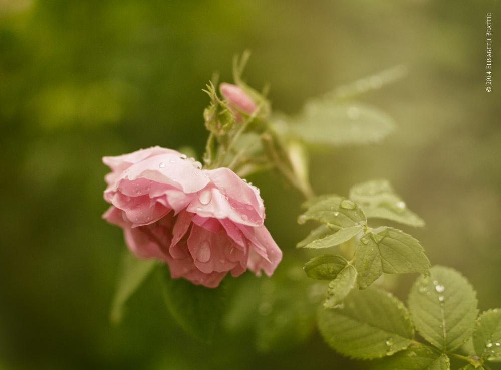 Damask Rose by Lis Beattie