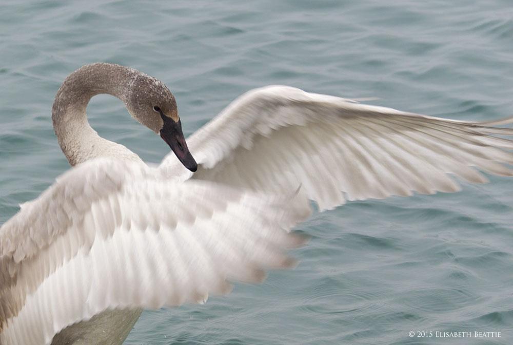 Trumpeter Swan - Juvenile by Lis Beattie
