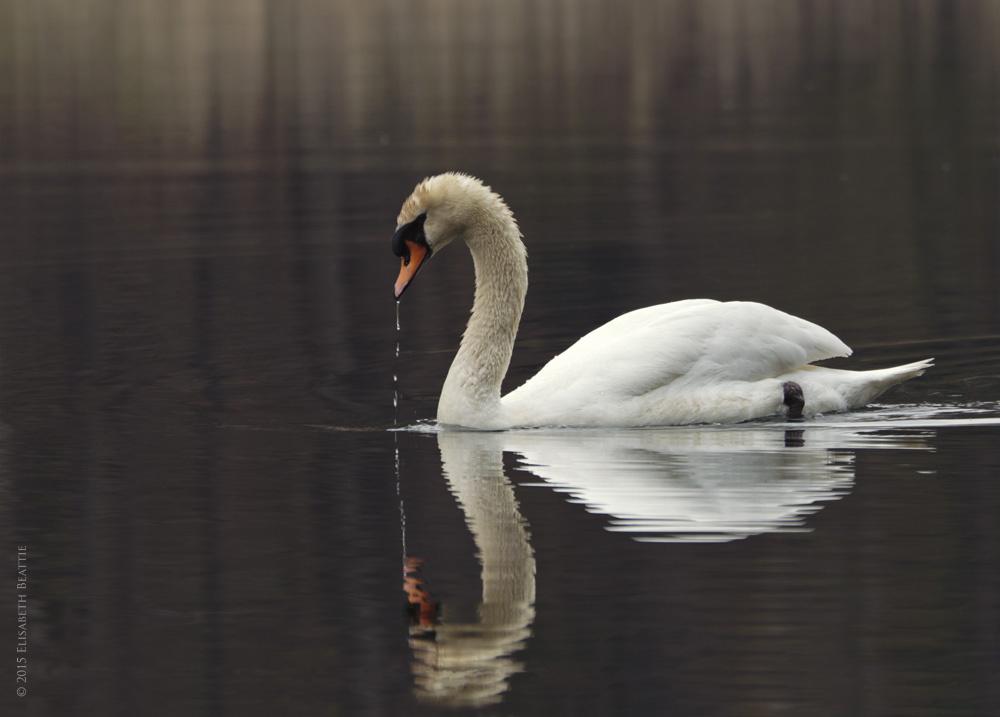 Mute Swan - Stillness by Lis Beattie