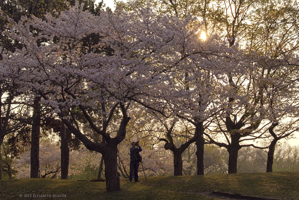 High Park Hanami by Lis Beattie