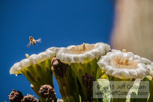 Saguaro in Bloom by Jeff Colburn