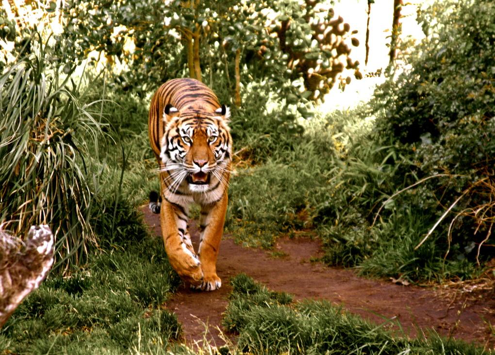 Tiger by Marina Wainwright