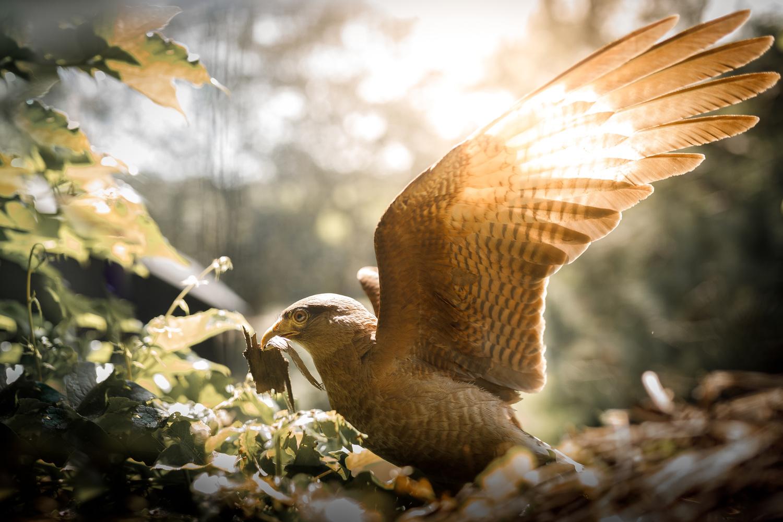 Chimango falcon on nest by Rodrigo Capuski