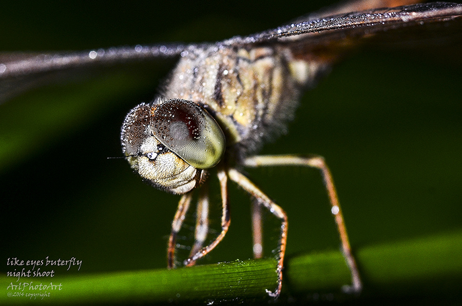 dragonfly by arilmagda prawira